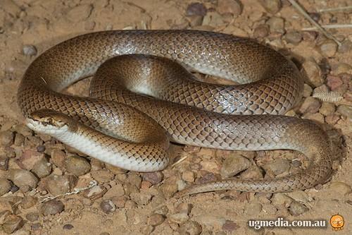 Curl snake (Suta suta)