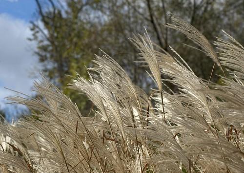 Orillia - Pampass Grass