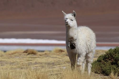 Llama kid