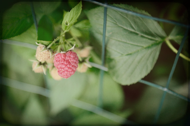 Raspberries Peeking Out