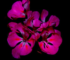 Missing You... (desertwatercolors) Tags: pink flower tucson az geranium dwc desertwatercolors awesomeblossoms