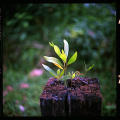 (19/77) Tags: slr film nature tiny malaysia 1977 negativescan kiev88 mediumfromat kodakektacolorpro160 autaut canoscan8800f arsat80mmf28 myasin