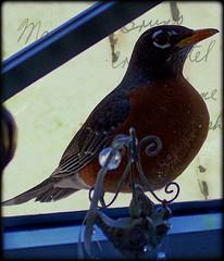 Mr. Robin closeup
