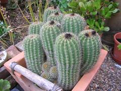 Nikon - Cactus