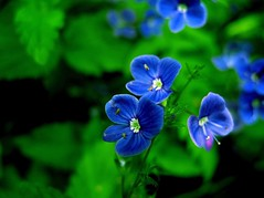 mood indigo (manicandy) Tags: blue summer flower green june forest canon finland ilovenature woods g7 germanderspeedwell blueribbonwinner flowerscolors abigfave canong7 anawesomeshot ultimateshot superbmasterpiece 1on1colorfulphotooftheday anttirahkiola manicandy 1on1colorfulphotoofthedayjune2007