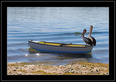 Hold on tight...here come the waves. (Barbara J H) Tags: boat bravo waves australia pelican qld australianpelican maroochydore naturesfinest pelecanusconspicillatus project365 maroochyriver 020707 anawesomeshot daybyday2007 auselite 2ndjuly2007