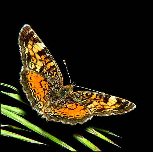Pearl Crescent on Black