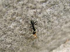 Work ethic (nils_desu) Tags: work ants ways ethic