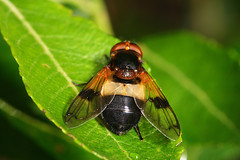 """Hoverfly (Volucella pellucens) • <a style=""""font-size:0.8em;"""" href=""""http://www.flickr.com/photos/57024565@N00/768066936/"""" target=""""_blank"""">View on Flickr</a>"""