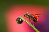 beauty and revulsion #2 (Lord V) Tags: flower macro water bug insect fly dewdrop soe parasite mite mywinners abigfave