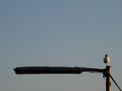 A gull rests near Koblenz, Germany