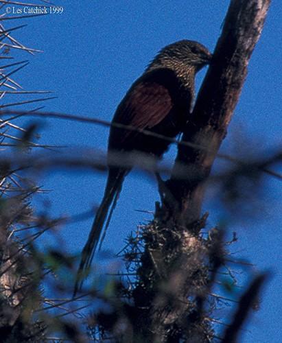 Madagascar coucal