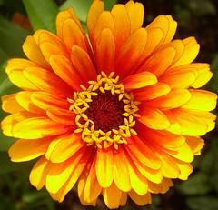 Zowie Zinnia (Cowtools) Tags: orange flower garden washingtondc smithsonian dc washington zinnia ripleygarden abigfave colourartaward