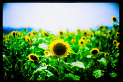 conductor (moaan) Tags: life leica sun sunlight flower field 50mm dof bokeh bow orchestra sunflower greeting leicam7 2007 salutation m7 rvp f095 fujivelvia sunflowerfield explored canonf095 fujirvp inlife canon50mmf095 bokehwhores exchangebows gettyimagesjapanq1 gettyimagesjapanq2
