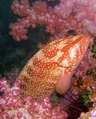 Grouper - by dachalan