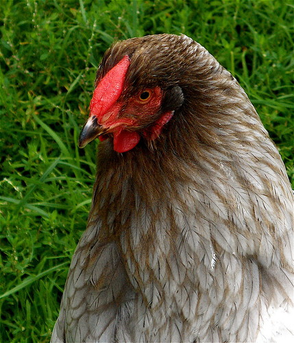 Kip, kleurslag blauw