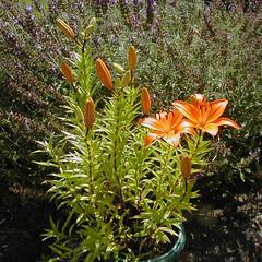 garden lillies 1