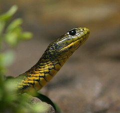 Tiger Snake (Chi Liu) Tags: nature animal bravo reptile snake wildlife australia naturesfinest tigersnake chiliu animalkingdomelite abigfave wildlifeofaustralia