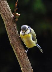 Blue tit (Mr Grimesdale) Tags: bird birds tit tits sony bluetit gardenbirds mrgrimsdale stevewallace dsch2 15challengeswinner mrgrimesdale grimesdale