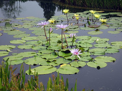 lily pads italian garden biltmore