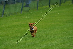 PICT0946 (windhundarena) Tags: dog greyhound dogs sport grey tiere europameisterschaft weltmeisterschaft hund espanol fotos agility schmidt ulrich gelsenkirchen ruhrgebiet uli haustier hunde tier arny haustiere weltmeister windhund coursing recklinghausen ruhrpott tierfoto tierfotos meisterschaft herten galgo galgos jagdhund windhunde wrv galga hundewiese europameister hundesport hunderennen hundefotos windhundarena rennhund kikami galgas hunderennbahn jederhundrennen blacktoxic