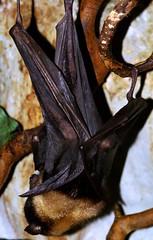 Flying fox (Jolanda van Tuijl) Tags: zoo bat flyingfox tilburg oliemeulen vleermuis mrsjolanda vliegendehond