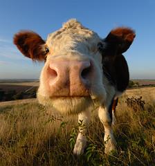 Cow (luns_spluctrum) Tags: cow interestingness interesting essex hadleigh sigma1020 d80 misfavoritosinvitación