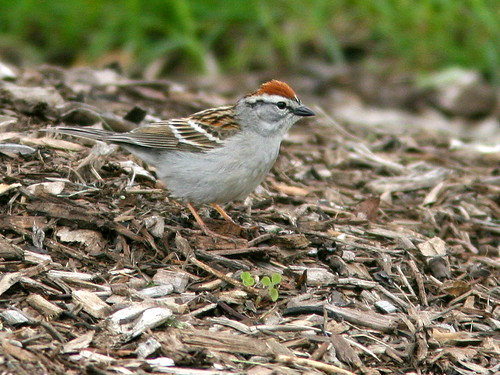 Chipping Sparrow 20100515