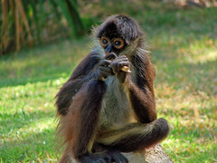 Hmm.... Let me think about that... (lilikx-taking a short break) Tags: mexico monkey xcaret mayanriviera yucatnpeninsula mywinners lilikx