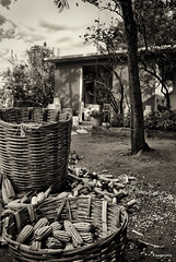"""Life around the Corn""  (Roal, Oaxaca) (RENE ORTEGA (RANACHILANGA)) Tags: travel food art monochrome mexico photography town photo corn nikon basket country pueblo trinidad oaxaca canasta fotografia guadalupe mexicano maiz zaachila arguello d80 reneortega ranachilanga roalo lavariega"