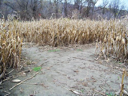 corn maize_03