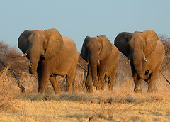 Elephants Rushing to Waterhole #1, Nxai Pan, Botswana