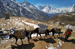 Yaks and their herder, Nepal, Gokyo region (Spkennedy3000 - Architectural Photographer) Tags: nepal yak mountain buddha buddhist himalaya coolest sherpa lukla gokyo namche
