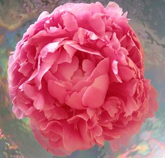 Pink Peony 2 (a m photography) Tags: flower peony flowersonblue