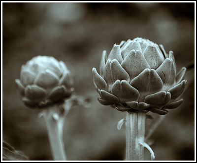 2007-06-23  Artichokes  006 Sharped Split Toned copy