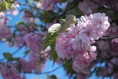 Pink (noahg.) Tags: newyorkcity pink flower tree slr cemetery graveyard brooklyn digital nikon zoom bokeh greenwoodcemetery kitlens af nikkor dslr zoomlens autofocus nikkorlens naturesfinest d80 noahbulgaria nikond80 nikkorkitlens afsnikkor18135mm13556ged impressedbeauty wowiekazowie
