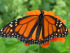 First Monarch Butterfly and Zinnia