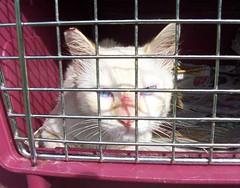 Kakashi (MyCatRanch) Tags: animals cat blueeyes siamese kakashi flamepoint catranch mycatranch
