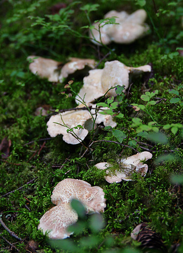 sheep polypore