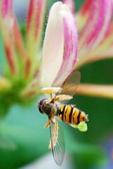 Tiny hoverfly (Ben124.) Tags: tiny hoverfly naturesfinest superhearts colourartaward