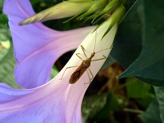 Assassin Bug (Velveteen Swirl) Tags: palms losangeles morningglory assassinbug zelusrenardii