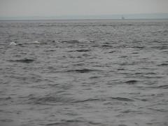 tadoussac - whale watching (*Miaka*) Tags: whale beluga stlawrenceriver
