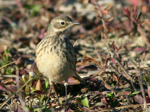American Pipit 2-20101102
