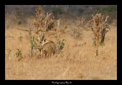 Love like no other (Grievous247) Tags: africa kenya lion safari lions lioness bigcats bigfive tsavoeast sonyalpha sonya700 sonysal70400g