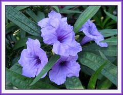 Ruellia Brittoniana 'Katie' or Dwarf Purple Ruellia
