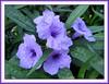 Ruellia Brittoniana 'Katie' (Dwarf Purple Ruellia)