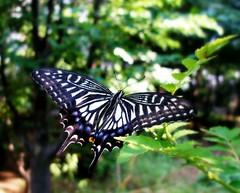 [フリー画像] [節足動物] [昆虫] [蝶/チョウ] [アゲハ蝶/アゲハチョウ] [ナミアゲハ]      [フリー素材]