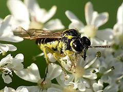 Tenthredo sp (Walwyn) Tags: insect warwickshire hymenoptera sawfly symphyta tenthredo walwyn draycotemeadows profmoriartydotcom:book=803