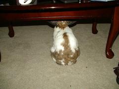 Watching tv (happybun) Tags: cute bunny bunnies outside funny babies rabbits