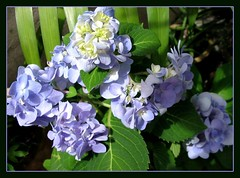 First time blooms of Hydrangea macrophylla 'Endless Summer' from our garden - Shot May 2, 2007! Looking more like delinquents than obedient mopheads!